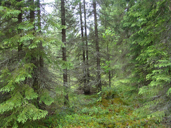 Ельник кустарничково-зеленомошный