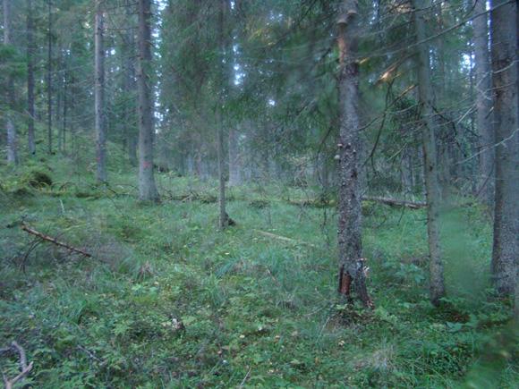 Ельник мелкотравно-зеленомошный