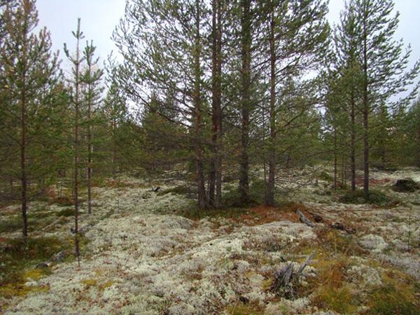 Lichen pine forest