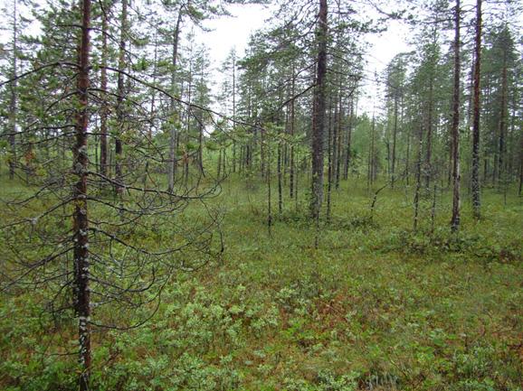 Dwarf shrub-sphagnum pine forest