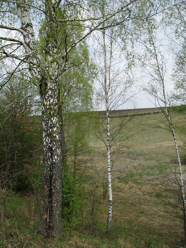Визуализация фото дерева берёзы повислой из записи атрибутивной таблицы ГИС
