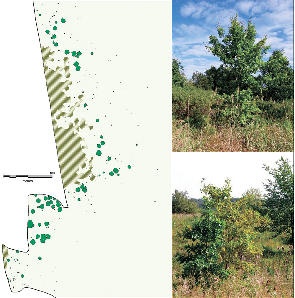 Natural seed regeneration of common oak in the ecotones between forest and virgin unmowed steppe (2016). Note. The image shows virginal oak plants on the Second unmowed section of Streletskaya steppe.
