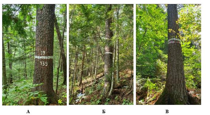 Рисунок 1. Модельные плюсовые деревья сосны корейской: A – дерево № 7; Б – дерево № 4, B – дерево № 3